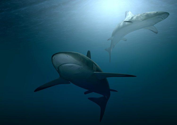 Los tiburones están desapareciendo debido al exceso de pesca mundial