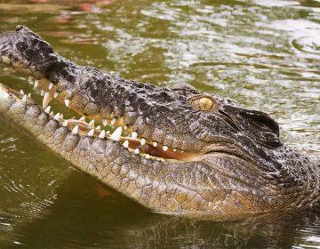 Hombre trata de sacarle los ojos a un cocodrilo para escapar del ataque