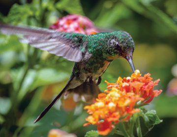 Colibríes: un viaje largo y extenuante para fertilizar la vegetación