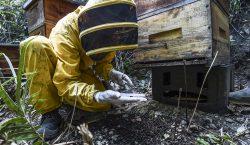 Abejas en Colombia están siendo aniquiladas por un agrotóxico vetado…