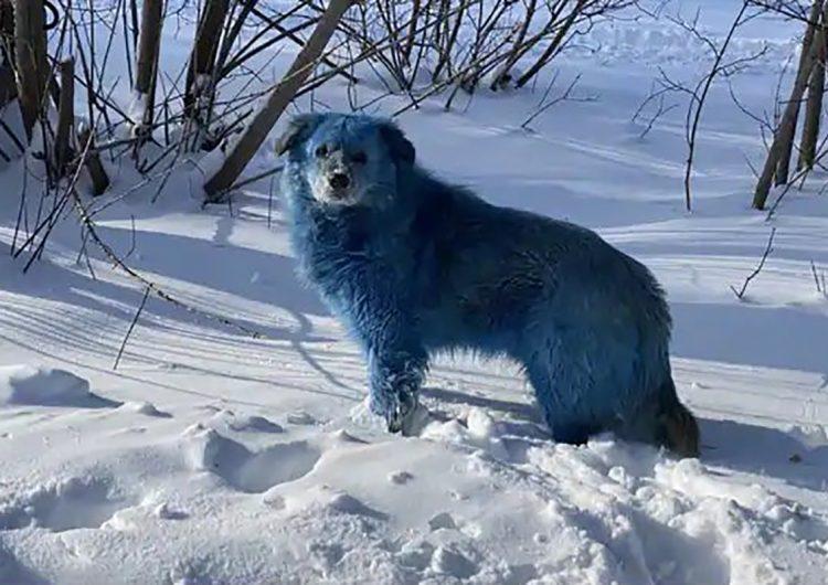 Organizaciones protectoras levantan la voz por los perros azules de Rusia
