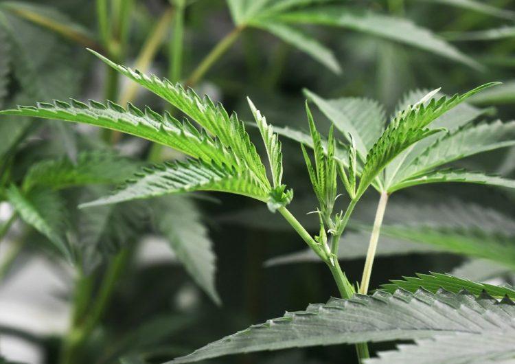 Nueva York promulga la legalización de la marihuana