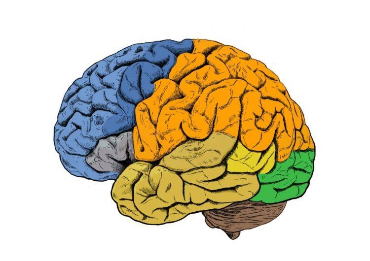 Así es como los humanos desarrollan cerebros más grandes que otros simios