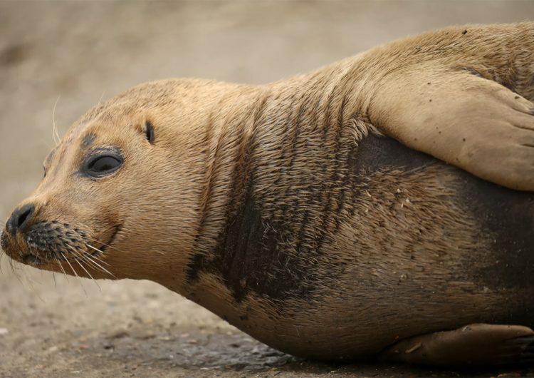 'Freddie', la foca que sobrevivió a cuatro incidentes, muere tras ser mordida por un perro