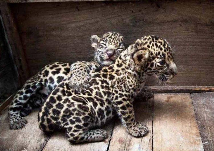 Vuelven a la vida jaguares rescatados