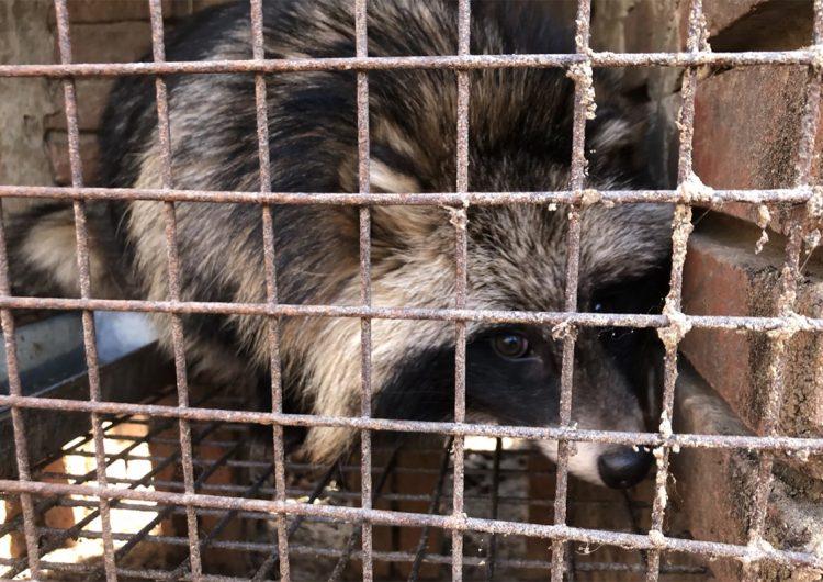 Activistas denuncian granja de pieles china donde los perros mapache son electrocutados