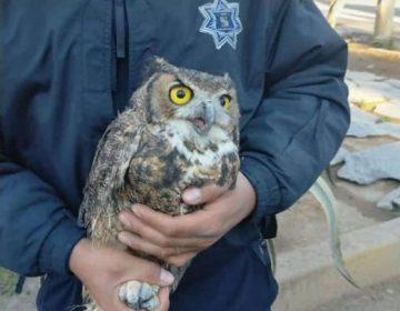 Rescatan búhos y un águila real lesionados en varias zonas de Pabellón de Arteaga