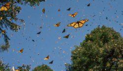 Cómo la crisis climática altera la migración de la mariposa…