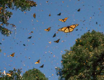 Cómo la crisis climática altera la migración de la mariposa Monarca en México