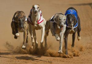 Perro galgo gana una carrera… pero luego se descubre que estaba drogado con metanfetamina