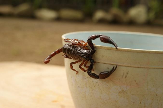 Aumentan picaduras de araña y alacrán por temporada de calor en Aguascalientes