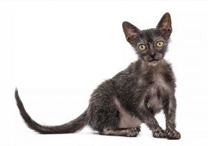 Mujer descubre que su gatita 'enferma' en realidad es un raro ejemplar de gato lobo