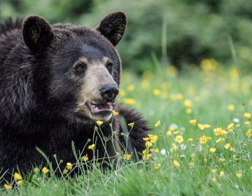 Hallan restos humanos en osos sacrificados; pudieron haberse comido a mujer desaparecida