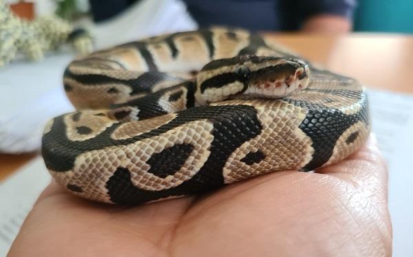 Capturan serpiente pitón en Torre Plaza Bosques