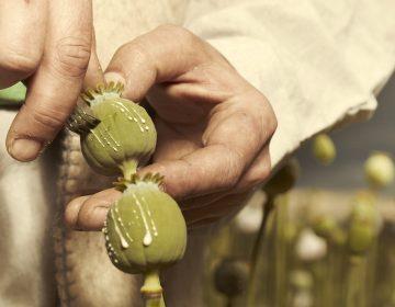 Covid-19 aumentó el consumo de drogas y el cultivo ilícito de opio: ONU