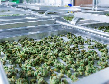 Por qué la oportunidad del cannabis en México está en los mercados internacionales