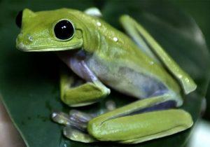 Científicos descubren nueva especie de rana; la nombran Led Zeppelin en honor de la banda de rock