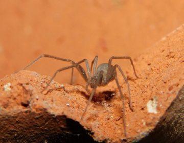 Advierte ISSEA por picaduras de araña en temporada de lluvias