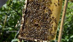 Exposición a agroquímicos aumenta netamente la mortalidad de las abejas:…