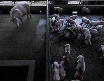 FAO alerta a países de las Américas por peste porcina detectada en República Dominicana