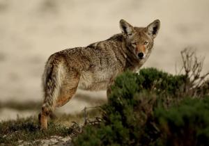 Coyotes 'drogados' se vuelven agresivos y atacan a tres personas en un parque