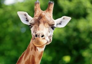 ¿Por qué las jirafas tienen el cuello tan largo? Respuestas a 25 preguntas sobre evolución animal
