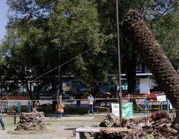 Las palmeras derribadas en Puebla estaban enfermas y muertas, responde la edil Claudia Rivera