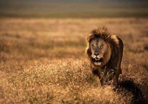 León que mató y se comió a tres niños será reubicado lejos de asentamientos humanos