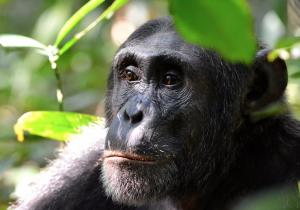 Zoológico le prohíbe a mujer que visite a un chimpancé con el que tenía un 'romance'