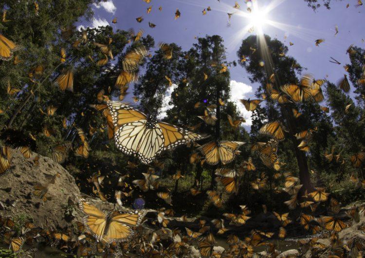WWF teje nuevas alianzas para proteger a la mariposa monarca