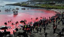 Matanza de 1,500 delfines causa indignación mundial. ¿Por qué se…