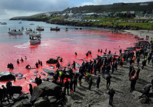 Matanza de 1,500 delfines causa indignación mundial. ¿Por qué se permite este ritual?