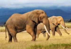 Un hombre muere pisoteado por un elefante con el que se tomaba selfies