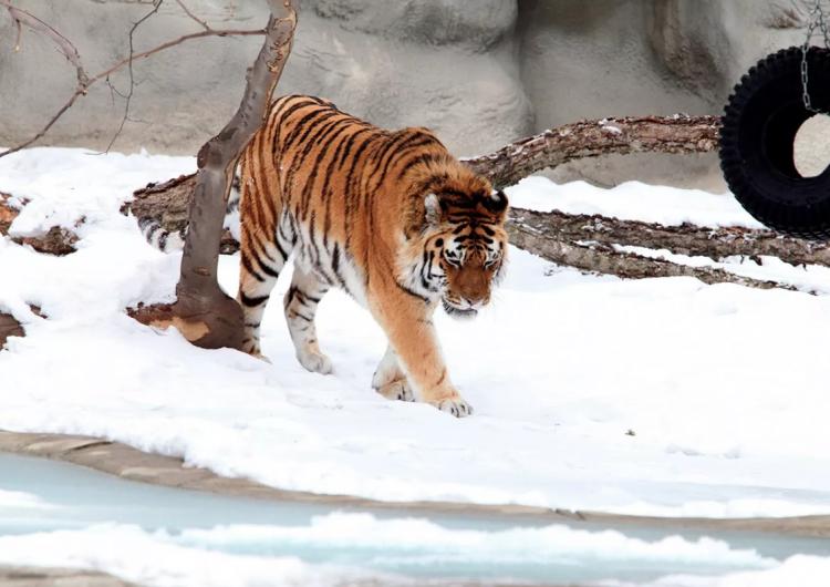 Zoológico aplica vacuna contra el covid-19 a leones, gorilas y otros animales