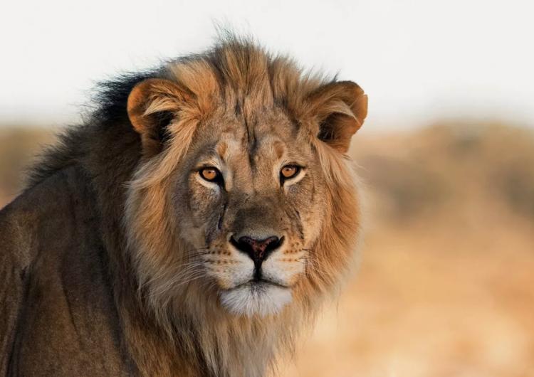 Mujer extraviada es hallada muerta y sin el torso tras ser atacada por un león