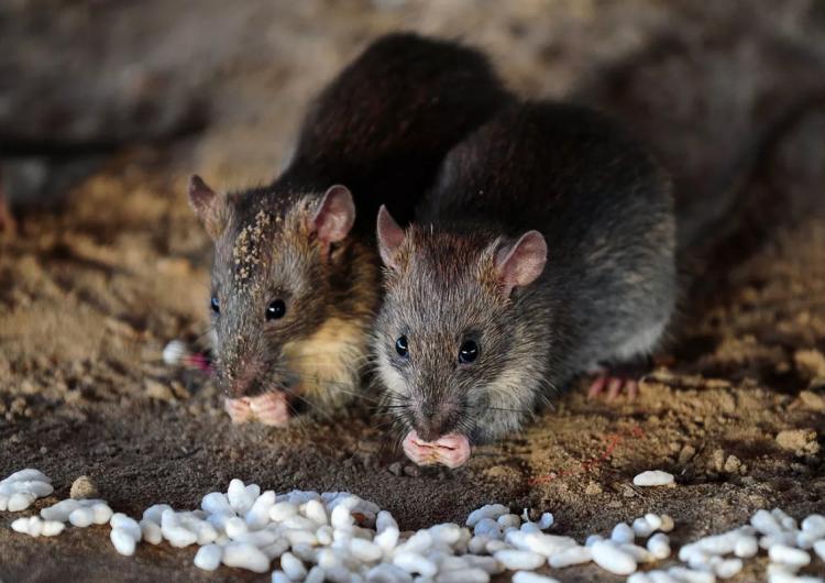 Ratas del tamaño de un gato pueden infiltrarse en el hogar a través del retrete: experto