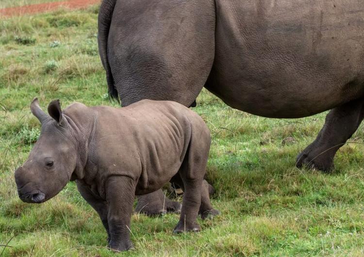 """""""Estamos fascinados"""": rara cría de rinoceronte blanco nace en un safari para autos"""