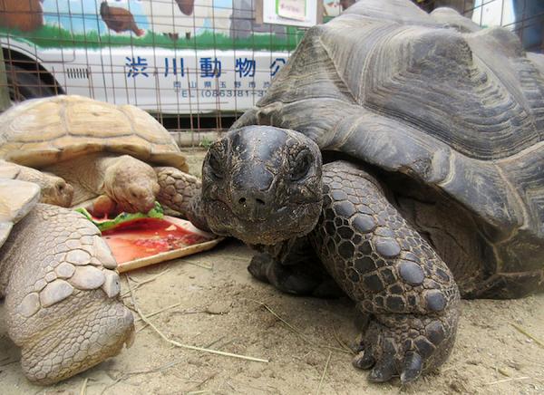 Hallan a tortuga gigante que se fugó de un zoológico de Japón