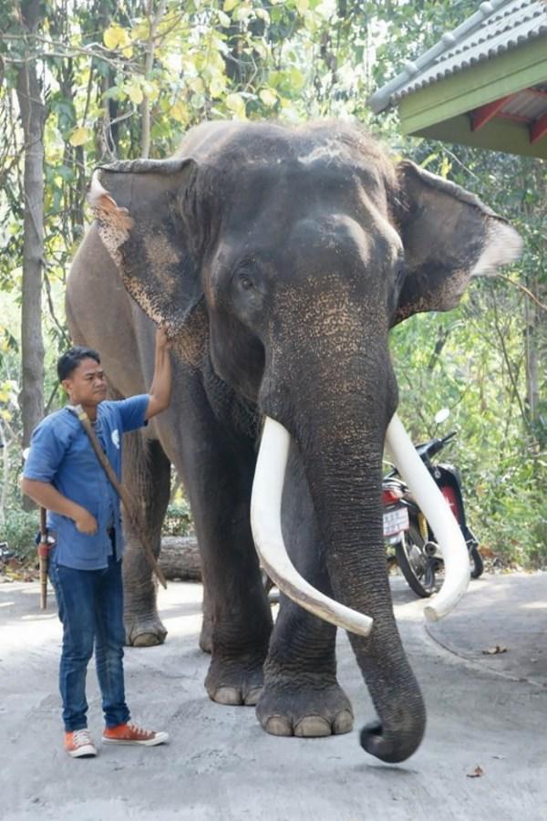 Elefante famoso de Tailandia mata a su cuidador