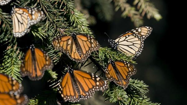 El muro de Trump amenaza la supervivencia de la mariposa monarca