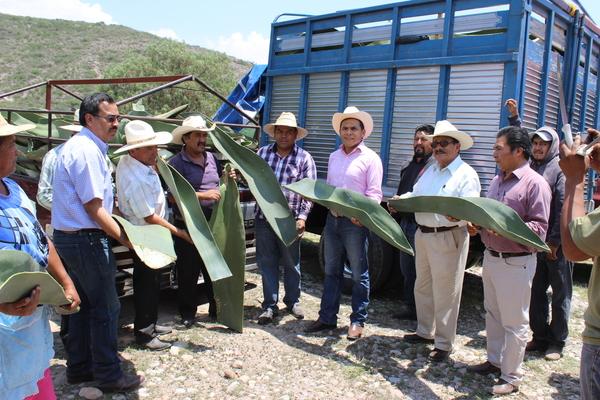 Maguey, en peligro de extinción en Hidalgo