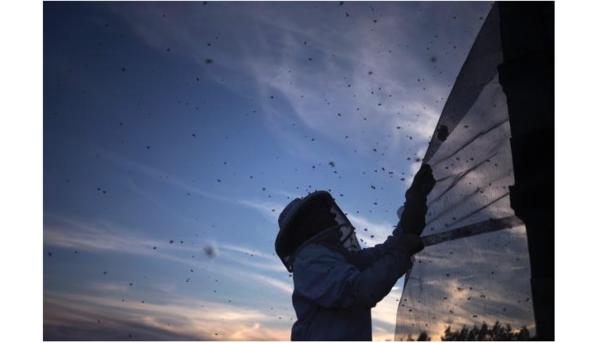 Apicultores de EE.UU perdieron 40 por ciento de colmenas en 2014