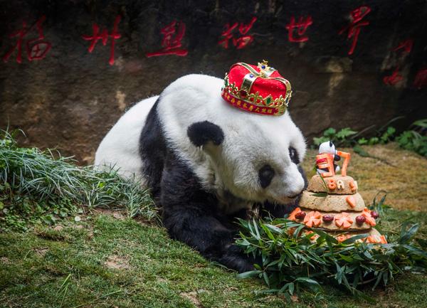 Basi, la panda más vieja del mundo muere en China