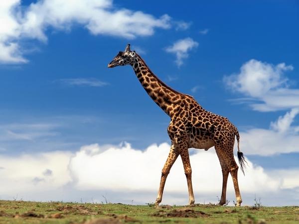 Las jirafas se convierten en especie en peligro de extinción, indica informe