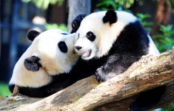 El sexo entre pandas no es sencillo