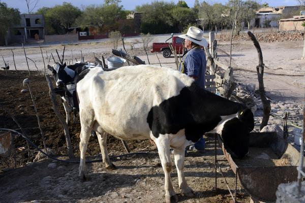 Registran lecheros la baja de 300 productores