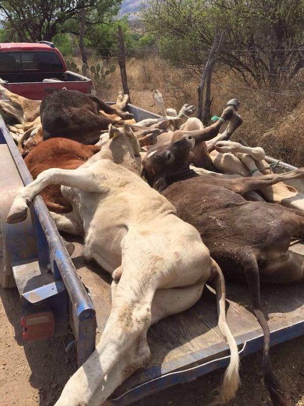 Investiga Sagarpa a involucrados en crisis ganadera de Calvillo