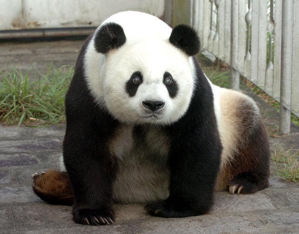 Muere Pan Pan, el panda macho más viejo del mundo