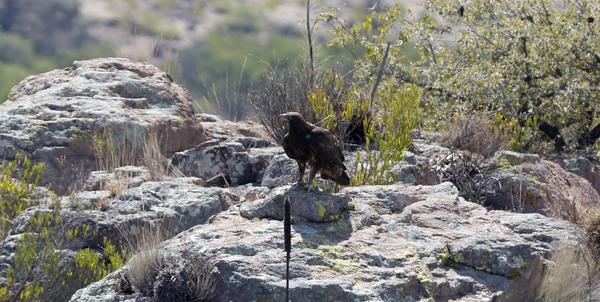 Sin vigilancia, águilas reales de Asientos