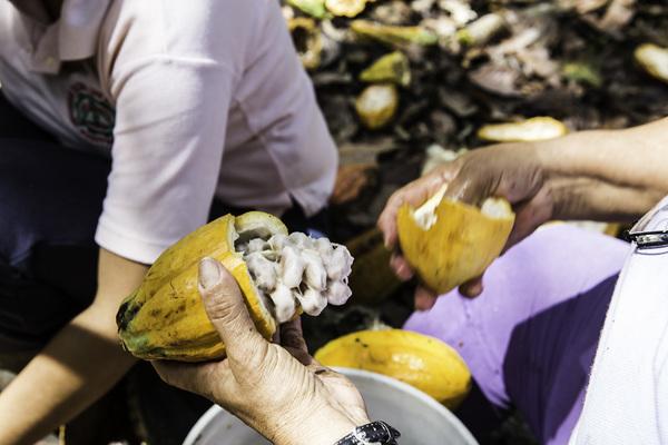 Ecuador: crisol del cacao y casa del mejor chocolate del mundo